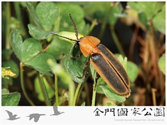 台灣窗螢雄蟲