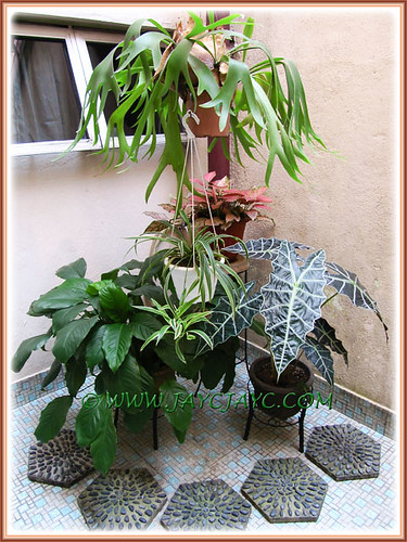 Alocasia sanderiana with other companion plants at our courtyard, July 22 2013