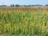 "Project ""Quinoa Felix"": FAO staff visit the site in Ercolano, Italy by FAO of the UN"