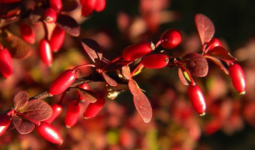 barberry bush macro