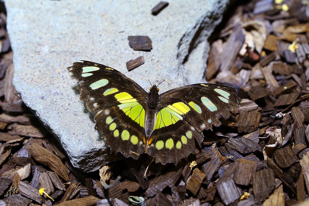 美洲蛺蝶 Siproeta stelenes-2