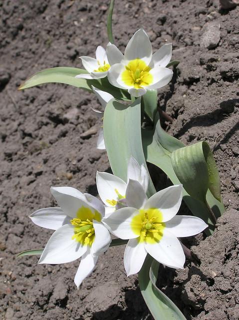 Tulipa poluchroma