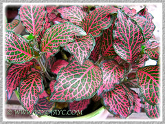 Probably Fittonia albivenis (F. verschaffeltii) - cultivar  'Tiger', Oct 16 2013