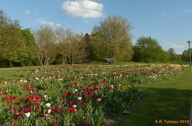 Britzer Garten Tulipan 06.05.2015  3
