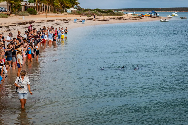 Monkey Mia delfines