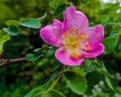 flower, rosa gallica, rosa rubiginosa, rosa canina, wildflower, flora, rosa multiflora, rosa acicularis, petal,