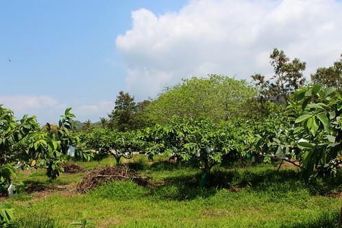 蔡鴻謨的果園,以草生栽培維護環境。
