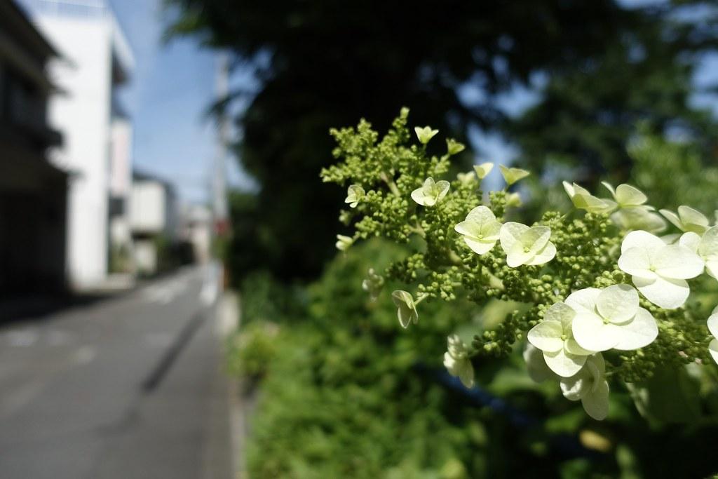 Flower of Hydrangea in neighborhood 2015/05 No.1.