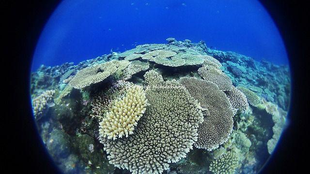 黒島のサンゴも復活の兆し♪