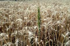 grass(0.0), food(0.0), phragmites(0.0), emmer(1.0), hordeum(1.0), prairie(1.0), agriculture(1.0), triticale(1.0), einkorn wheat(1.0), rye(1.0), food grain(1.0), field(1.0), barley(1.0), wheat(1.0), plant(1.0), crop(1.0), cereal(1.0), plant stem(1.0),