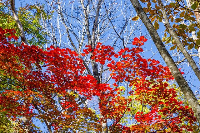 綺麗に色づいたカエデ@ウノタワ手前の稜線