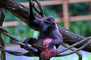 6F8A6581 Celebes crested macaque