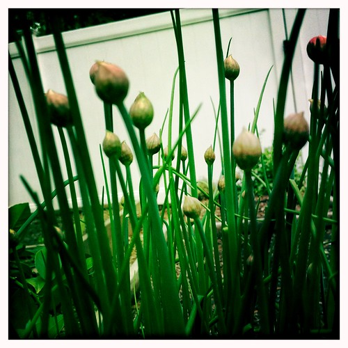 chives. by cscan