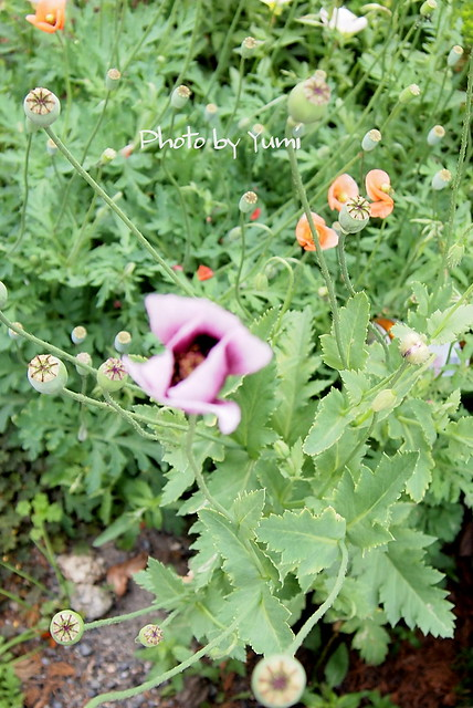 Papaver setigerum アツミゲシ