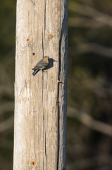 Bluebird on Pole-3937.jpg by Mully410 * Images