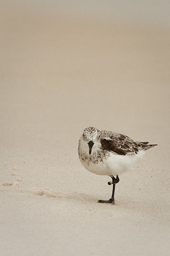 Sandpiper with missing foot
