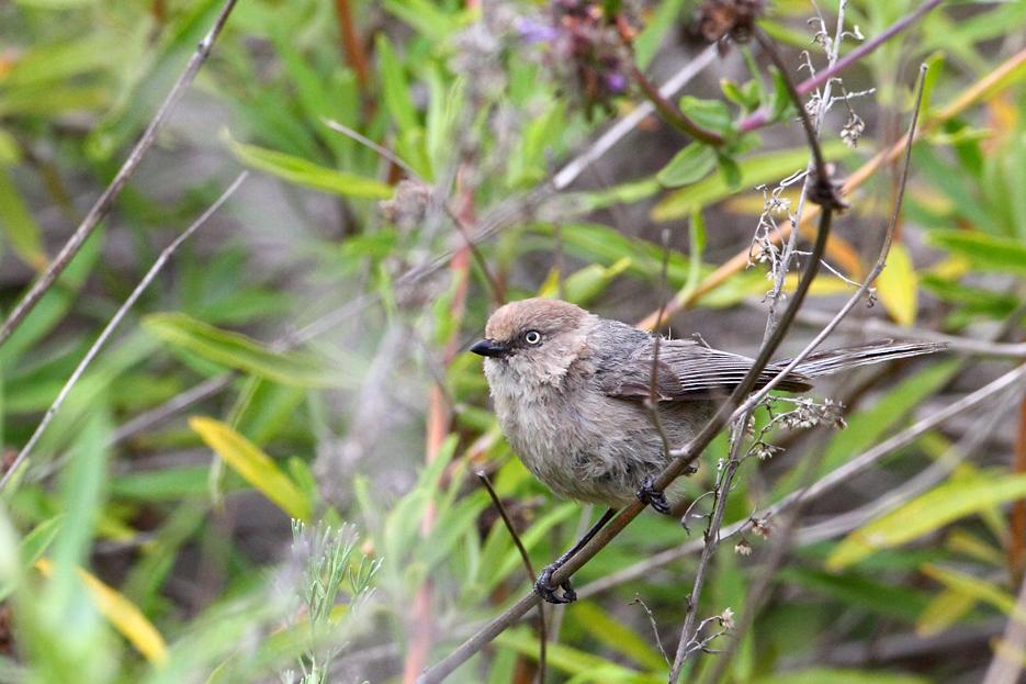 043012_bird_bushtit