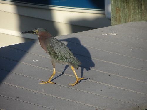 tri-colored heron, stalking off to a quieter spot