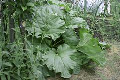 rhubarb 023 (2)