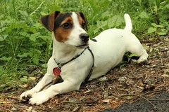 dog breed, animal, danish swedish farmdog, dog, brazilian terrier, pet, mammal, miniature fox terrier, parson russell terrier, russell terrier, jack russell terrier, terrier,