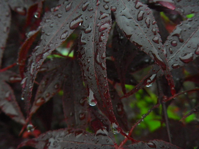 IMGP8025 Wet Japanese maple leaves