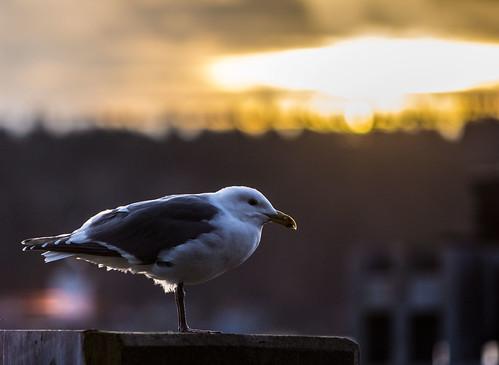 sunrise seagull bremerton