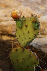fauna(0.0), echinopsis pachanoi(0.0), nopal(0.0), plant stem(0.0), flower(1.0), barbary fig(1.0), plant(1.0), thorns, spines, and prickles(1.0), macro photography(1.0), flora(1.0), produce(1.0), eastern prickly pear(1.0), close-up(1.0), caryophyllales(1.0),