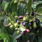 Santalum paniculatum fruit