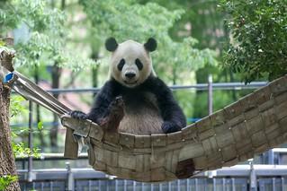 パンダのリーリー 2013 06 07