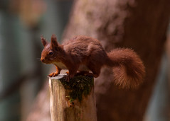 HolderRed Squirrel revisited