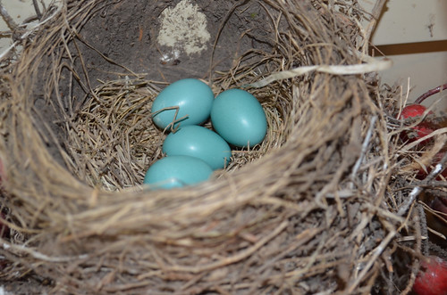 The robin eggs