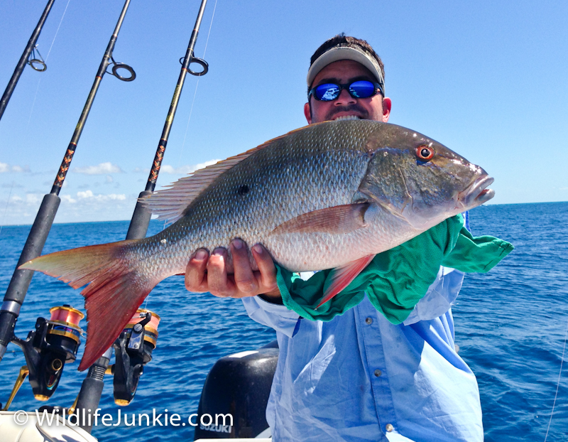 Mutton Snapper in the Florida Keys