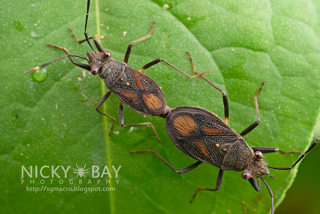 Broad-Headed Bugs (Alydidae) - DSC_9449