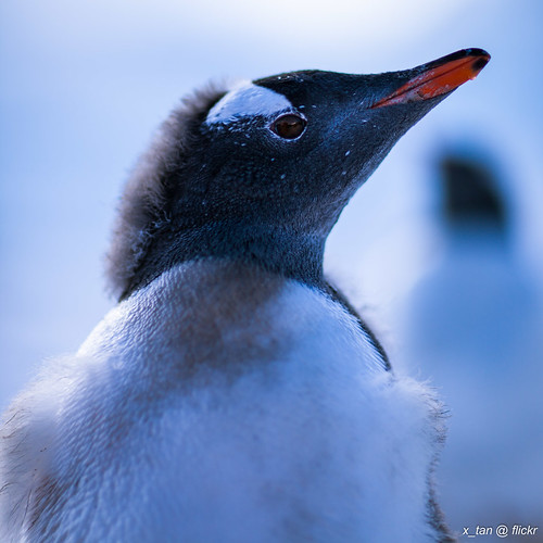 Gentoo Penguin @ Almirante Brown Antarctic Base, Paradise Bay, Antarctica by X_Tan
