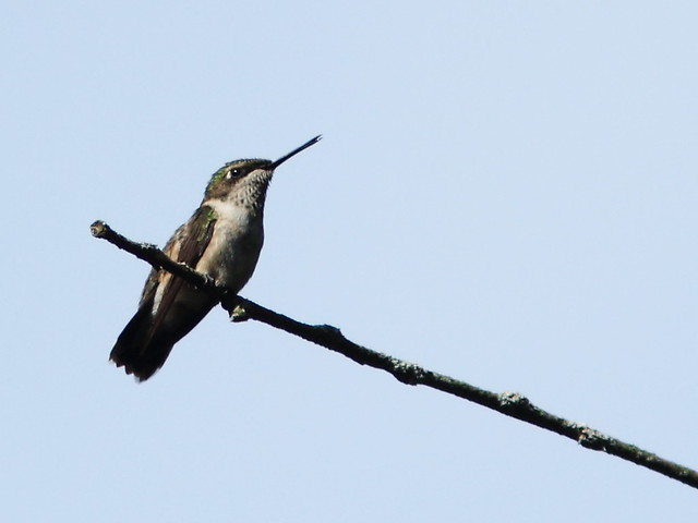 Ruby-throated Hummingbird 20130815
