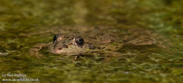 marsh frog-5