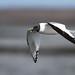 Sabine's Gull (Þernumáfur)Larus sabini by Bjarni in Iceland