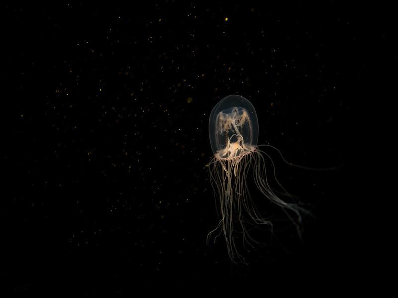 Deepwater Jellyfish