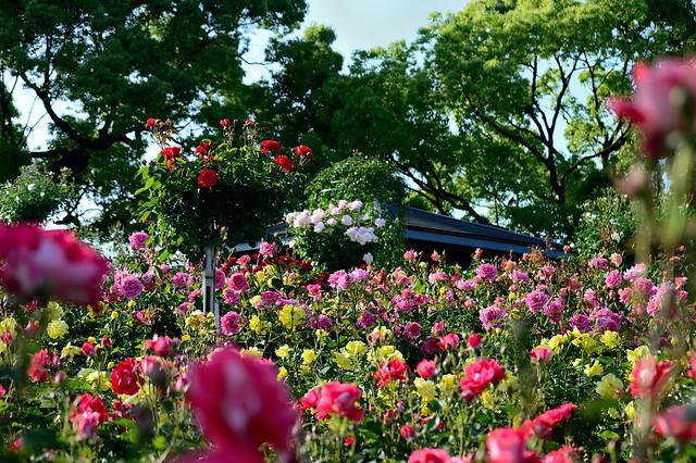 バラの花壇 Rose beds