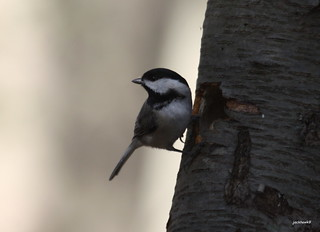 """Black-capped Chickadee"" ""Poecile atricaillus"""