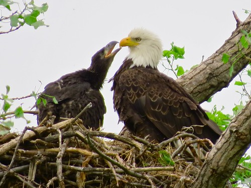 Love is good - Bald Eagle