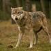 Wolf by Anja Schruba