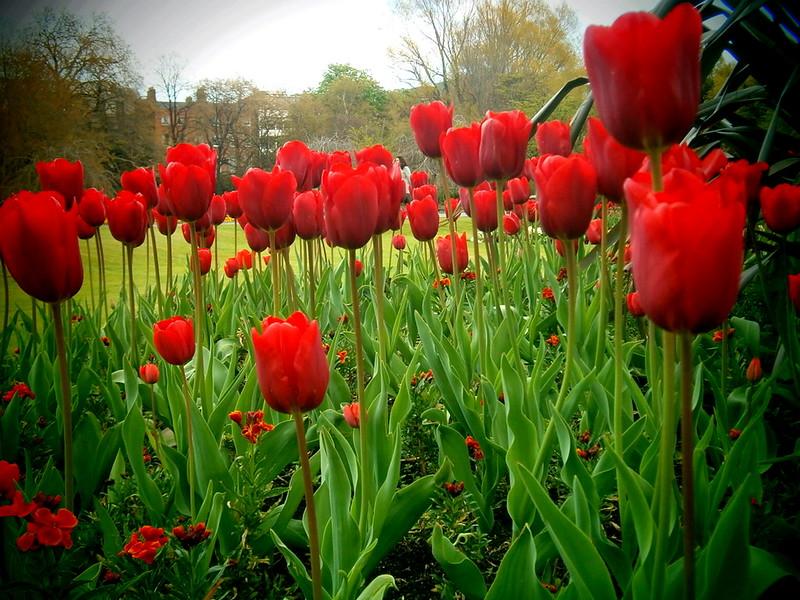 Red Tulips. Dublin, Ireland