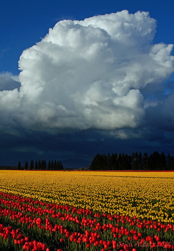 flowers nature weather clouds washington spring tulips farming pacificnorthwest fields washingtonstate skagitvalley skagitvalleytulipfestival canon40d