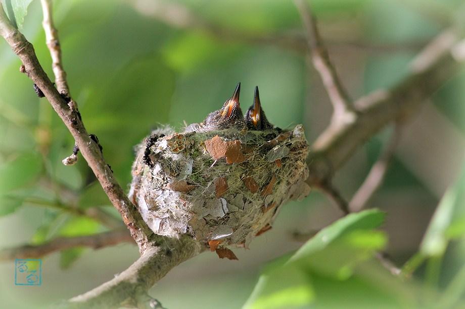Anna's Hummingbird nest 061712