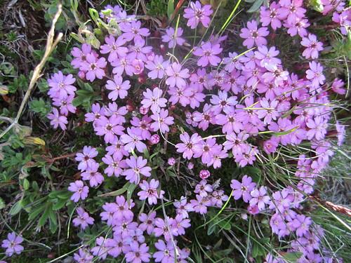 Primula farinos - Primula farinosa