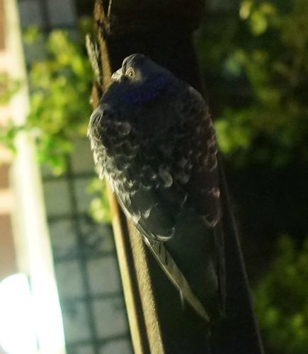 請問前輩這甚麼鳥?門前的嬌客(鳥的圖片上傳成功)