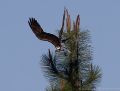 Osprey preparing to dive, Lincoln, Oregon