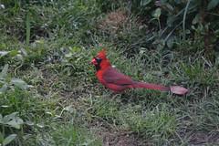 animal, fauna, finch, cardinal, bird, wildlife,
