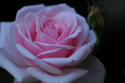 Rose 'Audry Hepburn' raised in USA